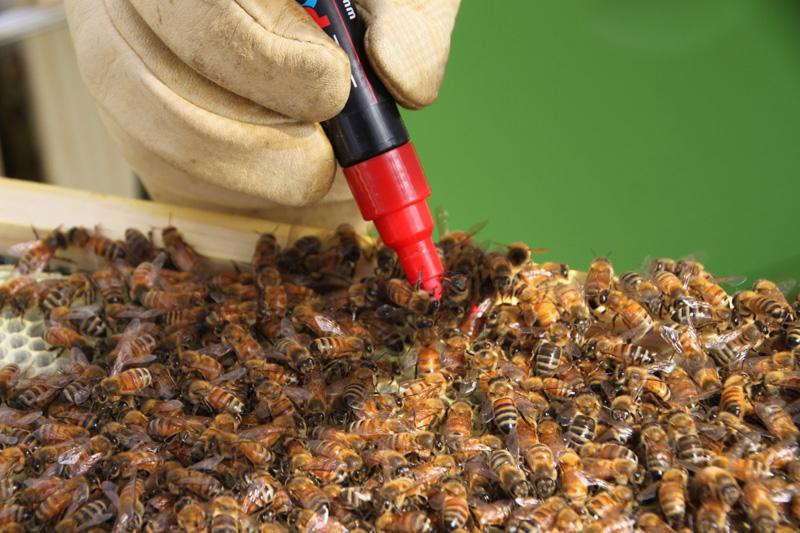 Đằng sau sự ngọt ngào bên trong các trại nuôi ong lấy mật