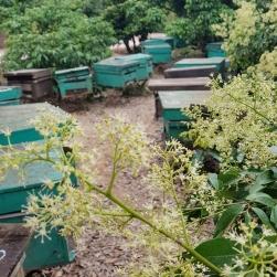 Nguồn gốc mật ong hoa vải